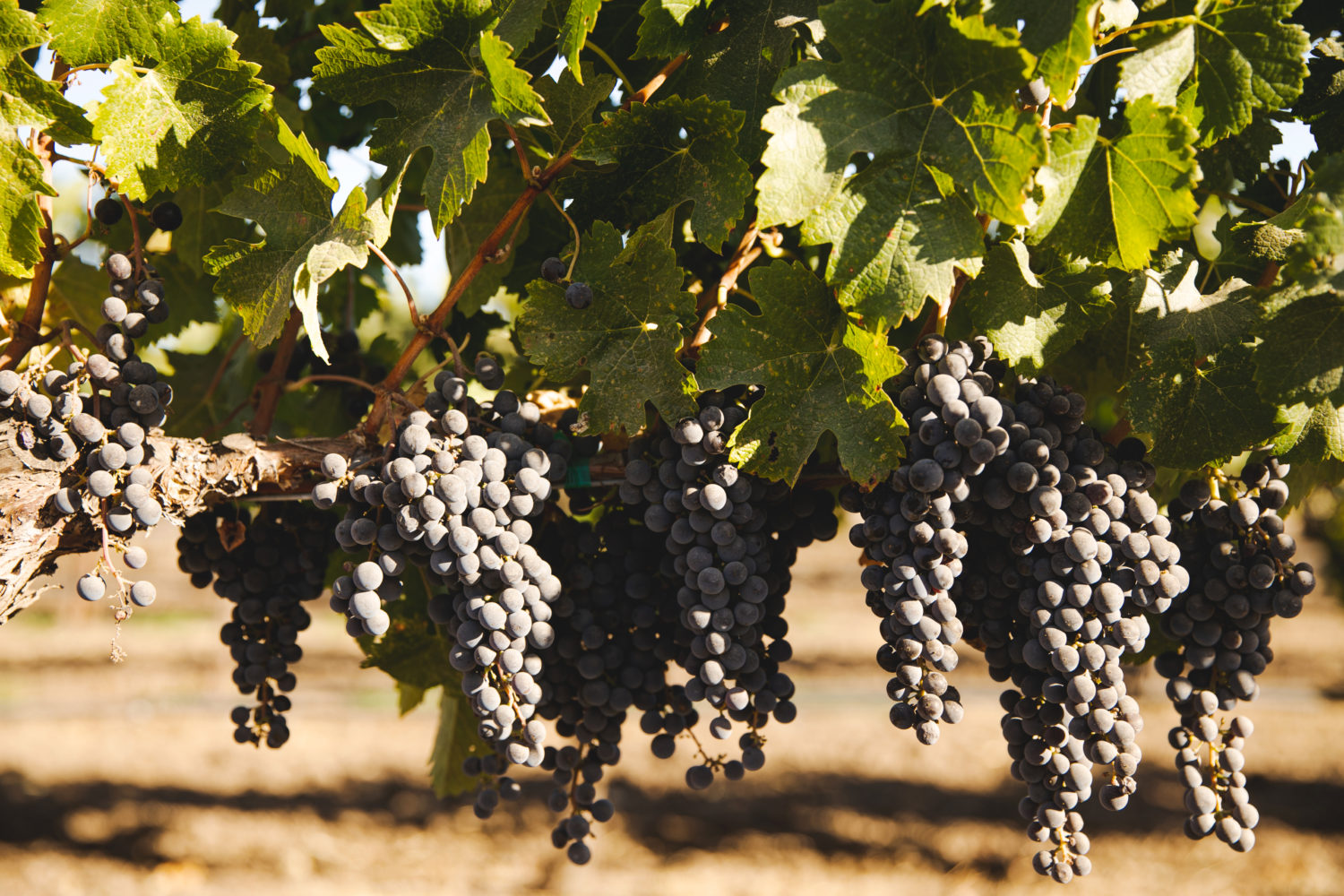 hanging grapes in vineyard