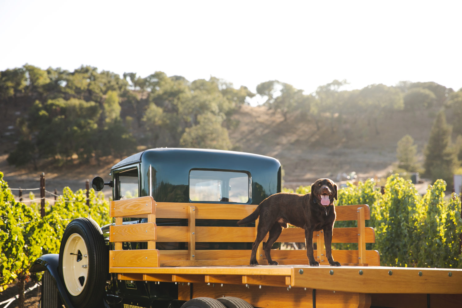 truck with dog in the back in vineyard